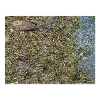 Snake in the River grass Postcard