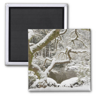 Snow-covered Japanese maple Magnets