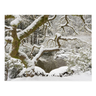 Snow-covered Japanese maple Post Card