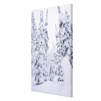 Snow-covered lodge pole pines canvas print