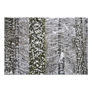 Snow covered tree trunks in Yosemite valley - Photographic Print