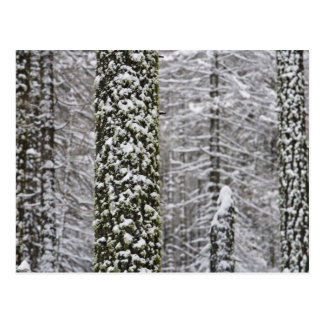 Snow covered tree trunks in Yosemite valley - Postcard