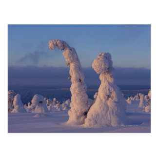 Snow covered trees in Lappland Postcard