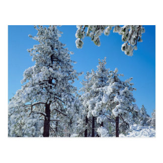 Snow-covered trees in the Laguna Mountains Postcard