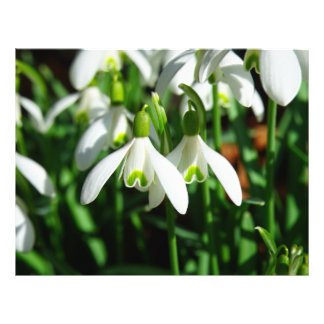 Snow Drops - Winter Blooming Bulb Flowers 21.5 Cm X 28 Cm Flyer