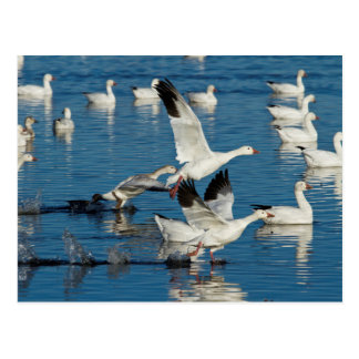 Snow Geese (Chen Caerulescens) Taking Off Postcard