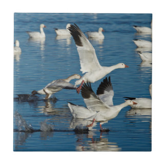 Snow Geese (Chen Caerulescens) Taking Off Tile