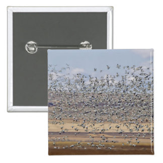Snow geese during spring migration 3 15 cm square badge