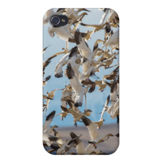 Snow Geese Fill The Sky After Feeding In Barley iPhone 4/4S Covers