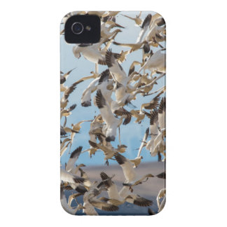 Snow Geese Fill The Sky After Feeding In Barley iPhone 4 Cases