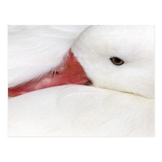 Snow Goose Chen caerulescens), captive in Postcard