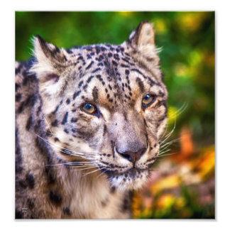 Snow Leopard 8 x 10 Print Photographic Print