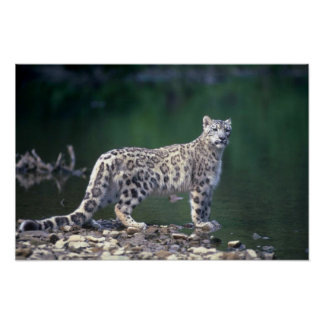 Snow Leopard beside river Poster