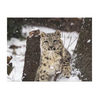 Snow Leopard Cub Canvas Prints