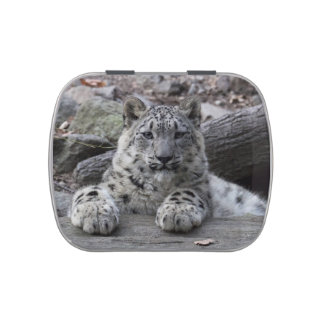 Snow Leopard Cub Sitting Jelly Belly Tins