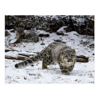 Snow Leopard Cub Stalking Birds Postcard