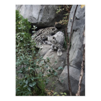 Snow Leopard Cubs on a Ledge Postcard