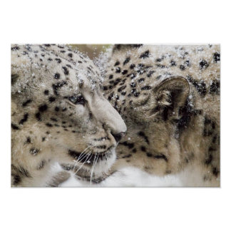 Snow Leopard Cuddle Poster