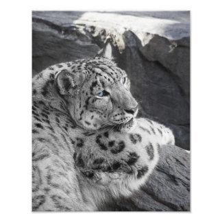 Snow Leopard Icy Stare Photo Print