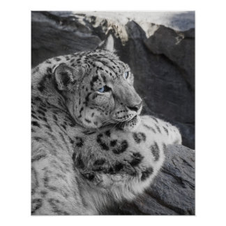 Snow Leopard Icy Stare Poster