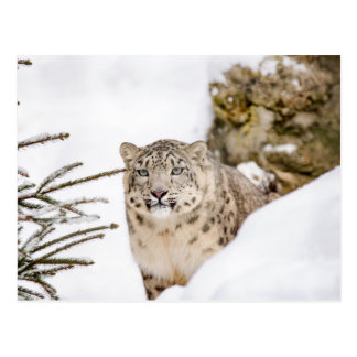 Snow Leopard in the Snow Postcard