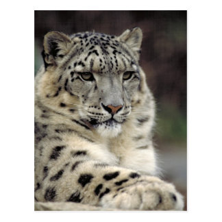 Snow Leopard Info Card Postcard
