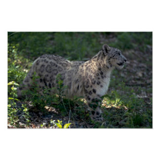 Snow leopard on brushy hillside poster