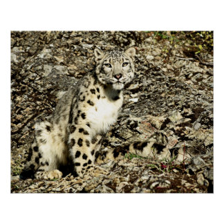 Snow Leopard on the Cliff Poster