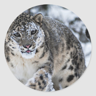 Snow Leopard on the Prowl Round Sticker