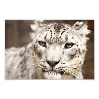 Snow Leopard Photo Print