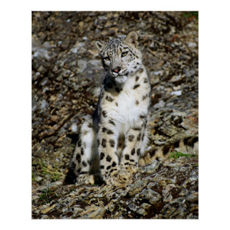 Snow Leopard Posing Poster