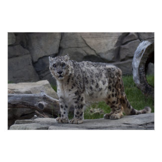 Snow Leopard Poster