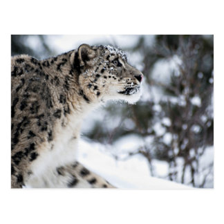 Snow Leopard Profile Postcard