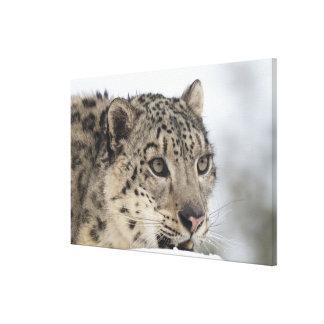 Snow leopard (Uncia uncia) Stretched Canvas Prints
