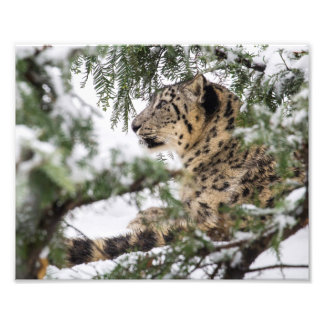Snow Leopard Under Snowy Bush Photo Print
