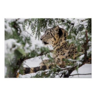 Snow Leopard Under Snowy Bush Poster