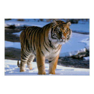 Snow Loving Tiger Poster