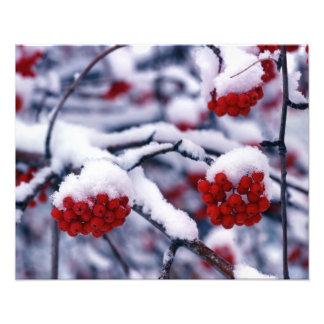 Snow on European Mountain Ash Berries, Utah. Photo Print