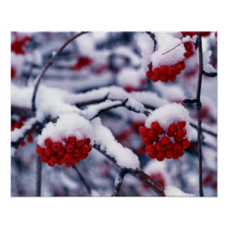 Snow on European Mountain Ash Berries, Utah. Poster