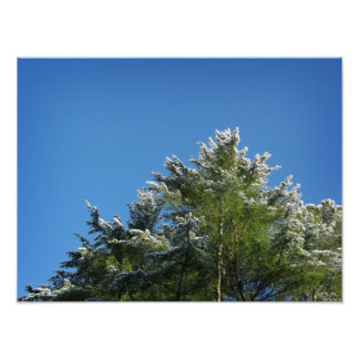 Snow-tipped Pine Tree on Blue Sky Poster