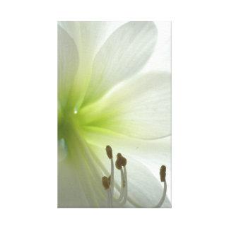 snow white amaryllis gallery wrap canvas