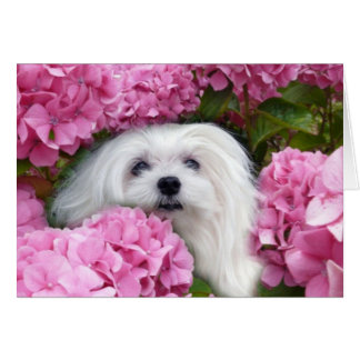 Snowdrop the Maltese Greeting Card