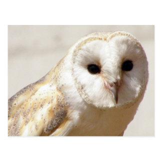 Snowy Barn Owl  Postcard