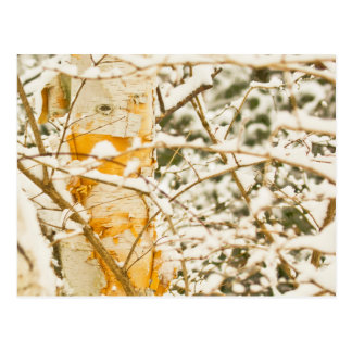 Snowy Birch Postcard