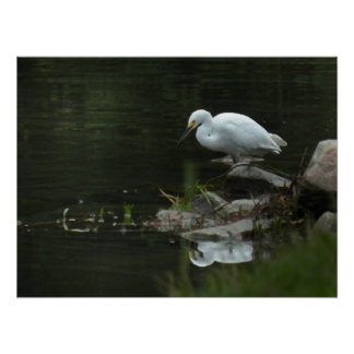 Snowy Egret at Water's Edge Poster