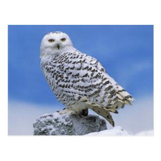 Snowy Owl (Bubo scandiacus) Postcard