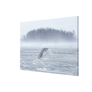 Snowy Owl Flying In Winter Canvas Print