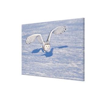 Snowy Owl in flight. Canvas Print