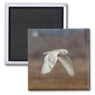 Snowy owl in flight magnet