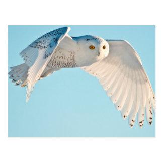 Snowy Owl in flight Postcard